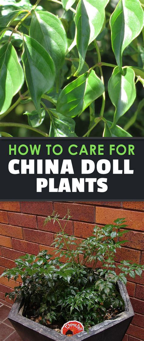 china doll plant china doll plant radermachera sinica growing guide