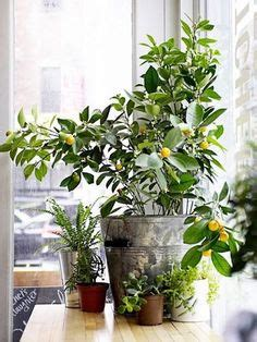 fruit trees you can grow indoors 1000 ideas about indoor fig trees on plants