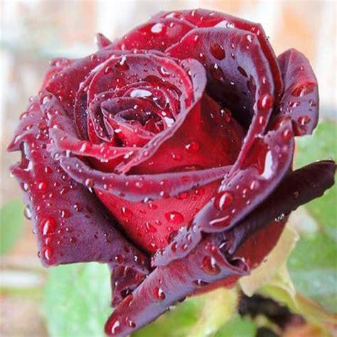 true blood black rose seeds jack seeds