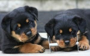 teacup rottweiler puppies image gallery teacup rottweiler