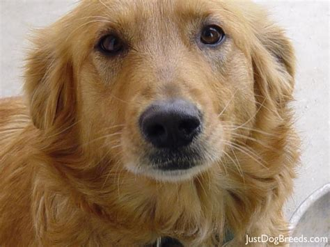 types of golden retriever breeds large golden retriever breeds picture