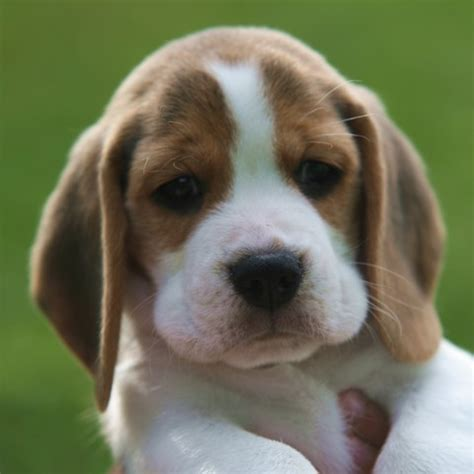 beagle puppies michigan compro cachorro de beagle o puggle mediavida