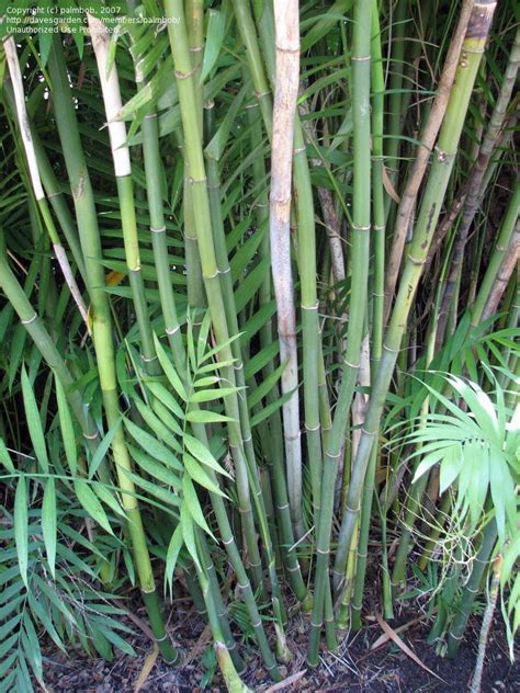 plantfiles pictures costa rican bamboo palm chamaedorea costaricana by palmbob