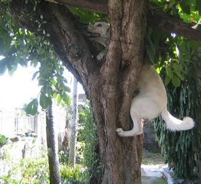 Doggie From Tree by Four Dogs That Proven Dogs Can Climb Trees Daily