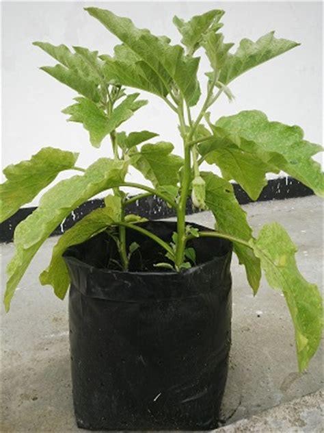 Bibit Tanaman Terong cara menanam terong di pot atau polybag