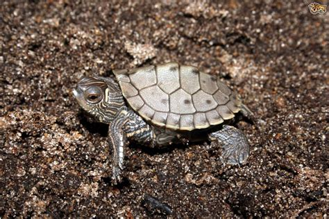 pet species species of turtle pets4homes