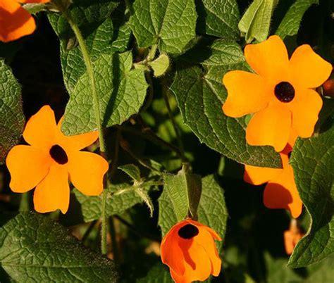 black eyed susan vine seeds thunbergia alata