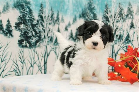 havanese puppies for sale in miami 17 best images about dogs on pets puppys and day book