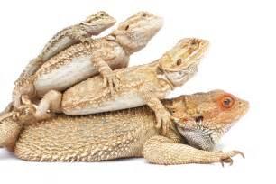 breaded dragons breaded dragon breaded dragon care