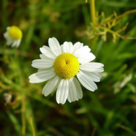 obat herbal tanaman herbal  penyakit maag kronis