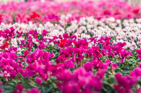 fiori di inverno i fiori dell autunno inverno floricoltura michielin