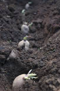 growing potato plants information on planting depth of
