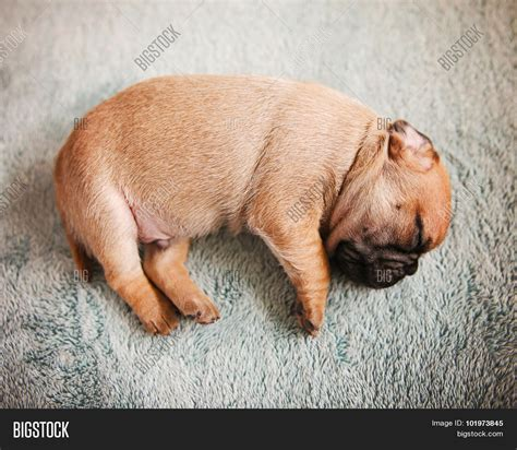 newborn baby pugs tiny baby pug chug mix newborn image photo bigstock