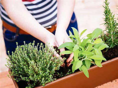 plant a container herb garden garden grit magazine how to grow evergreen herbs saga