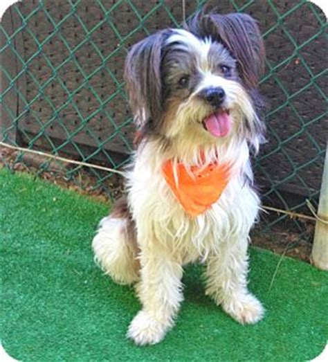 havanese puppies for adoption in california burbank ca havanese mix meet dina a for adoption
