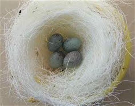 Pakan Walet Anakan merawat anakan murai batu arsip situs burung berkicau