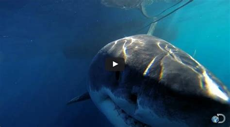 what is the largest great white shark ever recorded primer i like videos see the biggest great white shark ever