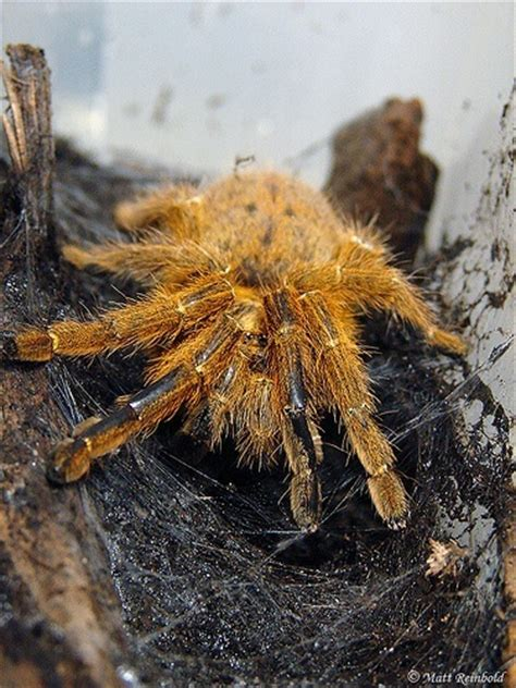 orange bitey  obt usambara baboon tarantula care