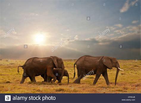 integument stock photos integument stock images alamy elephant family in amboseli national park kenya stock photo royalty free image 44073075 alamy