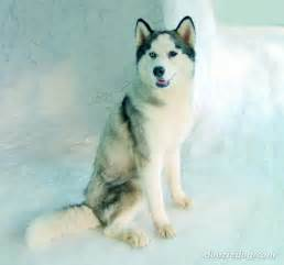 siberian husky breed breeds book breeds picture