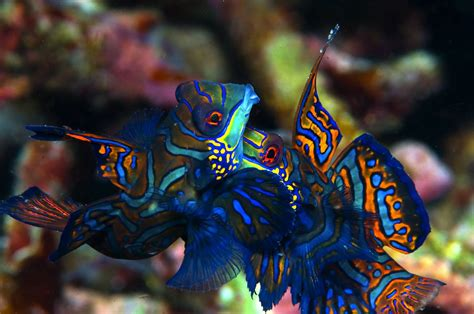 what to do with an aggressive what to do with an aggressive fish saltwater fish reef builders the reef and marine