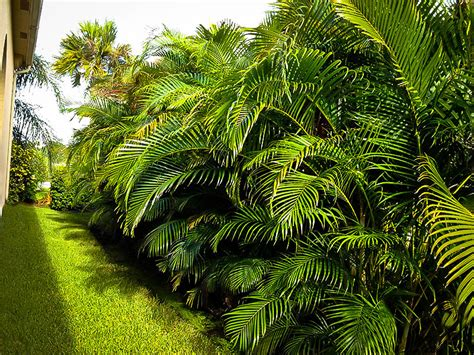 areca palm areca palm tree the tree center