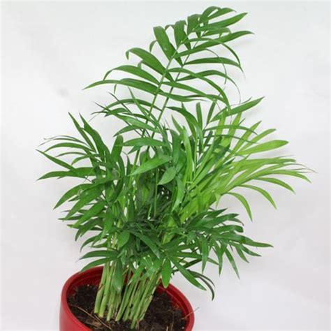 foliage plant identification chamaedorea elegans