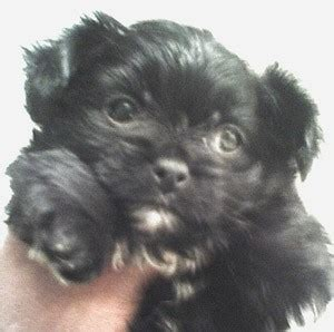 chihuahua papillon shih tzu mix information and links for girlshopes