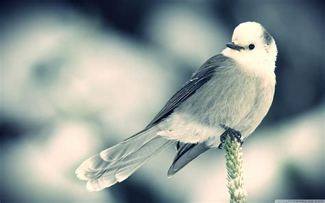 tiny white small white bird wallpapers and images wallpapers pictures photos