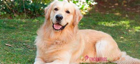 golden retriever caracteristicas cachorro golden retriever pre 231 o caracter 237 sticas encontros pet