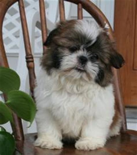 timbercreek puppies shihtzu puppies for sale shihtzu html timbercreek shihtzu s