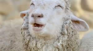 australie il insulte ses moutons histoire tricot