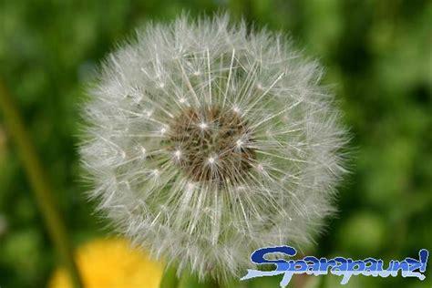tarassaco fiore fiore di tarassaco fare di una mosca