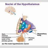 Hypothalamus   580 x 525 jpeg 49kB