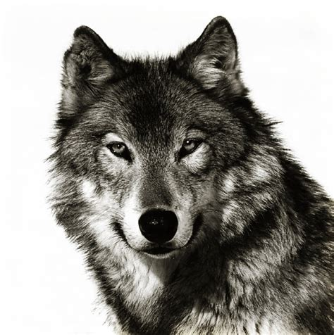 10 best wolf makeup images on pinterest artistic make up wolf face