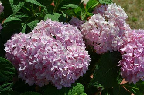 top 28 shrubs that bloom all summer blooming shrubs a