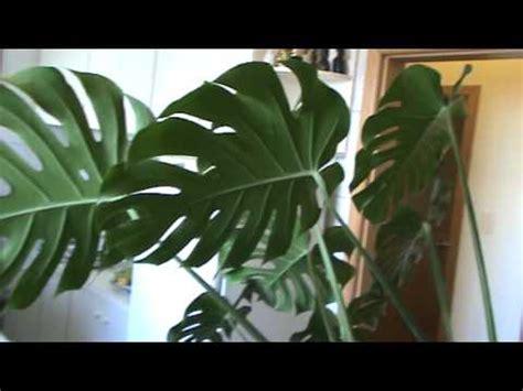 imagenes de jardines de sombra filodendro ou imb 233 plantas de sombra youtube