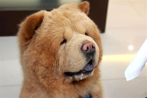 or puppy chowder the bearbog is he a or is he a unleashed