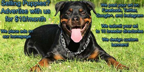 where can i buy a rottweiler puppy rottweiler puppies for sale