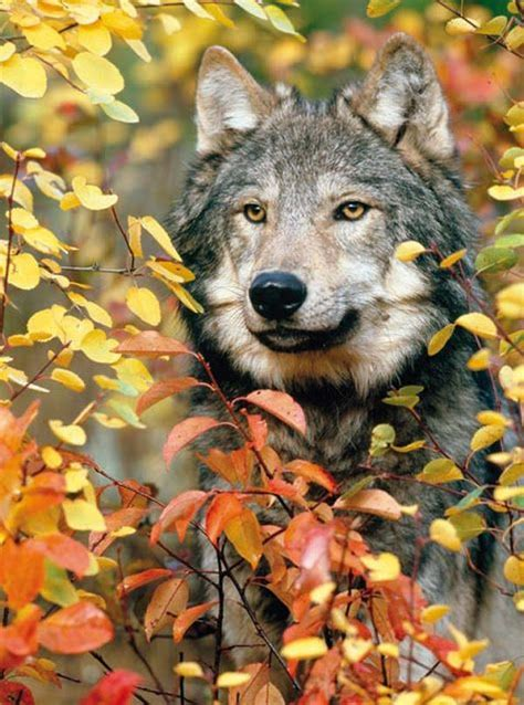 7 Gorgeous Animal Prints For Fall by White Wolf Breathtaking Photos Of Wolves In The Woods