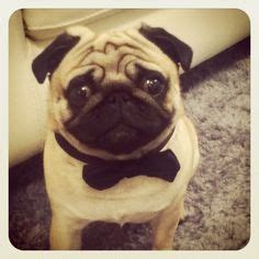 pug tuxedo 1000 ideas about pug on pug costume tuxedos and happy birthday pug