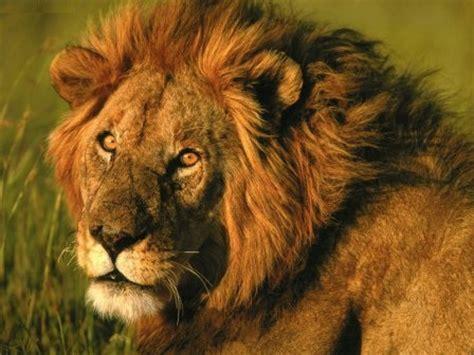 imagenes de leones cazando im 225 genes de leones 187 leonpedia