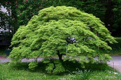 how to grow japanese maples the garden of eaden