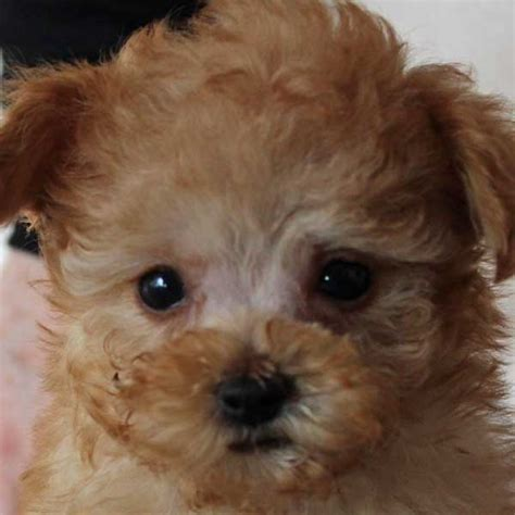 poodle puppies for sale florida poodle puppy for sale in boca raton south florida
