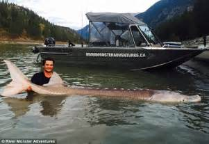 legend fish pig nose the legendary canadian sturgeon in