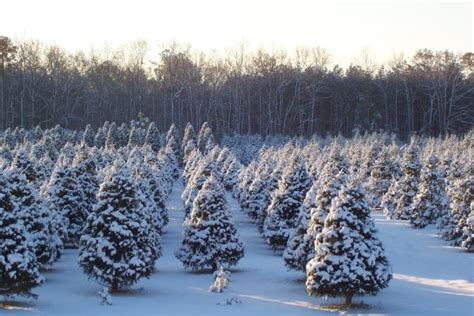 28 best local christmas tree farms trees ready to be