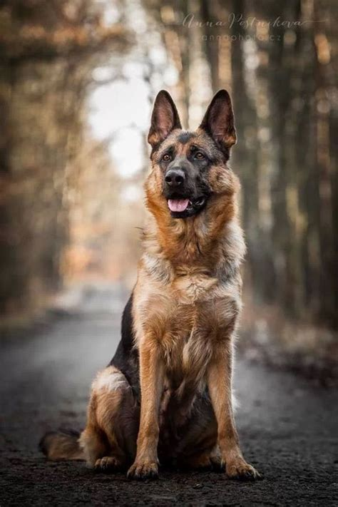 german shepherds dog breeds and dogs on pinterest