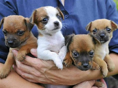 buy a puppy chicago find a puppy to at friends of rspca adoption day gladstone observer