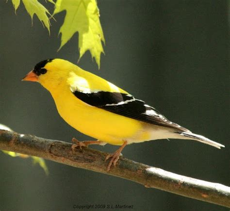206 best finch birds images on pinterest beautiful birds