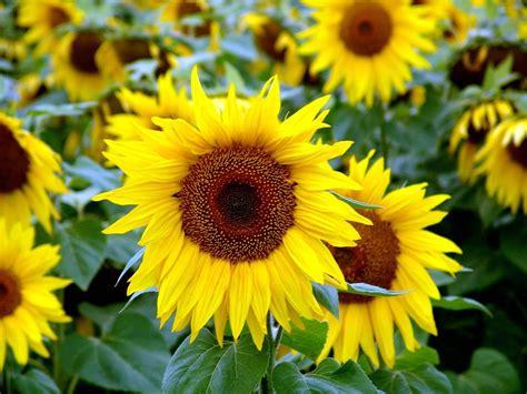 Benih Bunga Matahari Sunflower 4 free photo flower plant sunflower sunflower free image on pixabay 193785